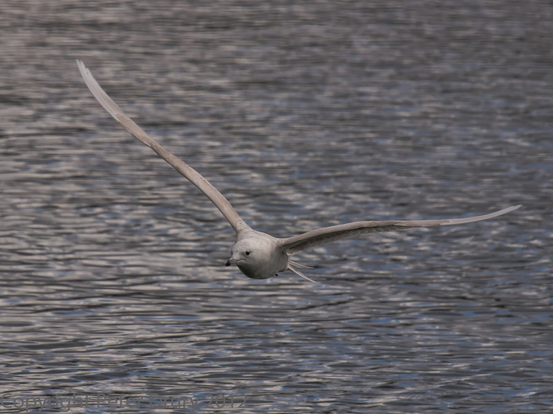 18 March 2012 Iceland Gull at Broadmarsh.