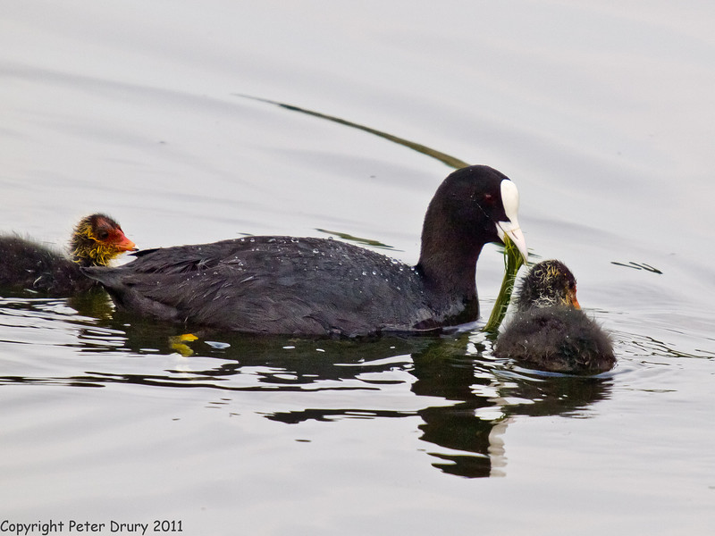29 April 2011. Coot family at Milton Common. Copyright Peter Drury 2011
