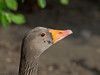 01 May 2011. Greylag Goose at Poole Park. Copyright Peter Drury 2011