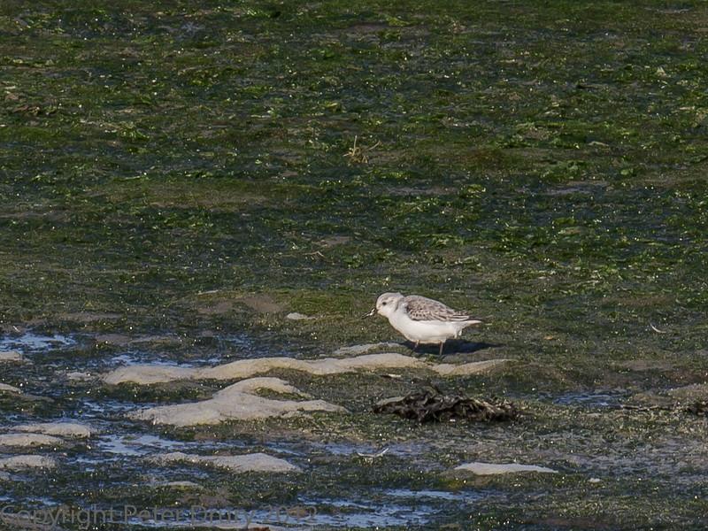 02 Feb 2012. Sanderling on the shoreline.