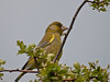 Greenfinch (Carduelis chloris). Copyright Peter Drury 2010