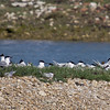 02 Jun 2011. Sandwich Tern on North Island. Copyright Peter Drury 2011