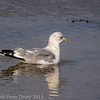 Common Gull at West Hayling LNR. Transition from winter to summer plumage