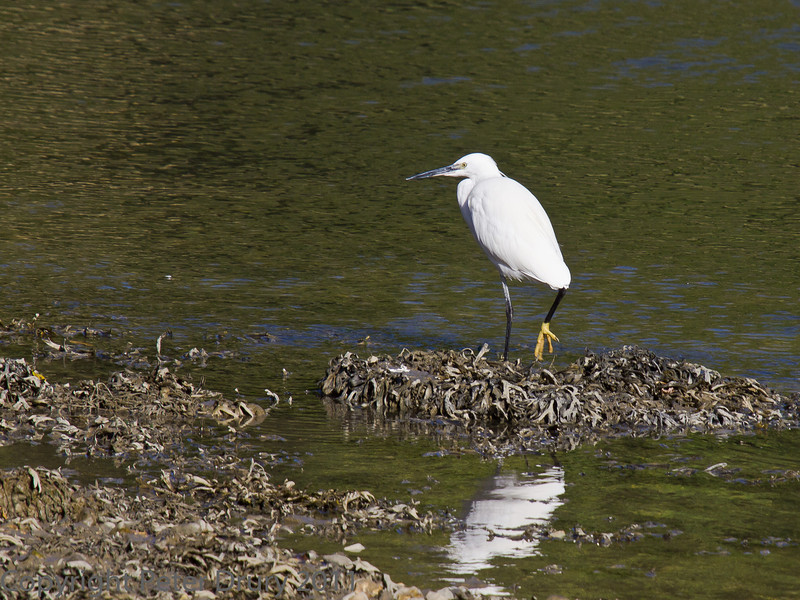 18 Oct 2011 Little Egret at Broadmarsh.