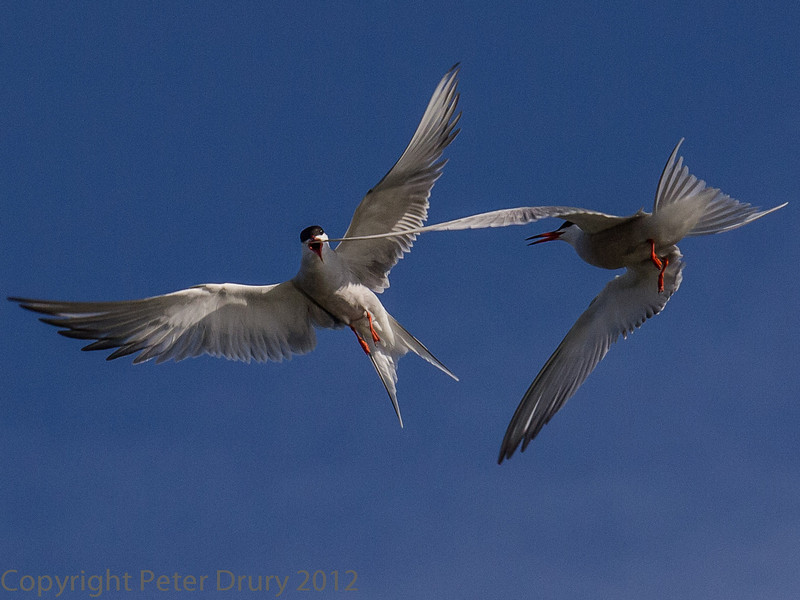 One male Common Tern arrives back at the colony on the island with food to tempt a female. Another, rival, male takes exception and this aerial battle takes place.