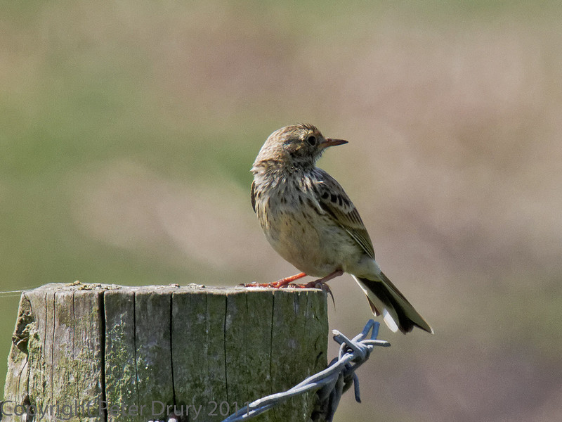 01 Aug 2011. Meadow Pippit at Farlington Marshes.