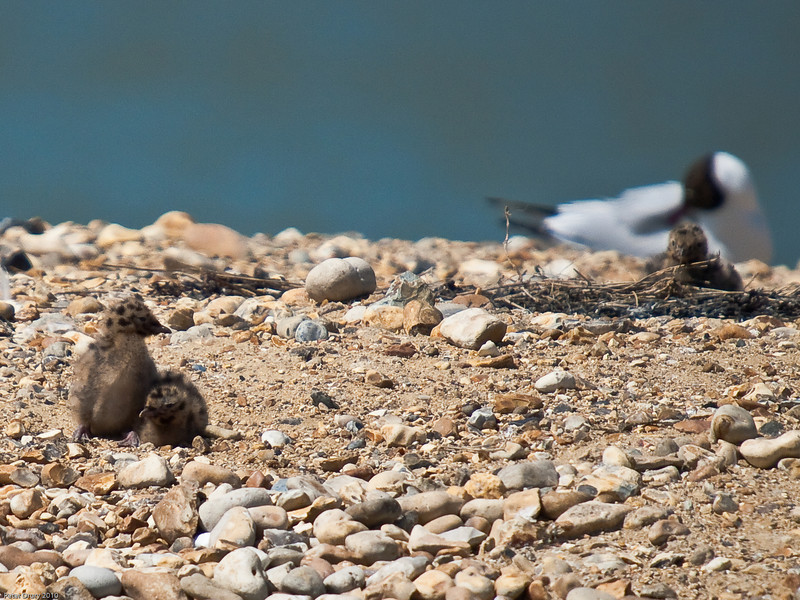At 8 days old, these Black-headed Gull chicks spend more time away from the nest and explore the island nesting site. Copyright Peter Drury 2010