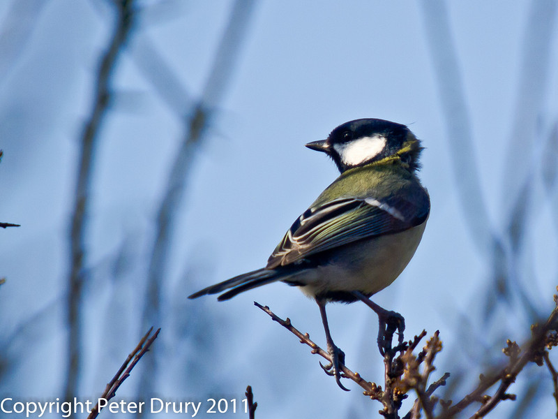 17 February 2011. Great Tit near the Hayling Billy Trail.. Copyright Peter Drury 2011