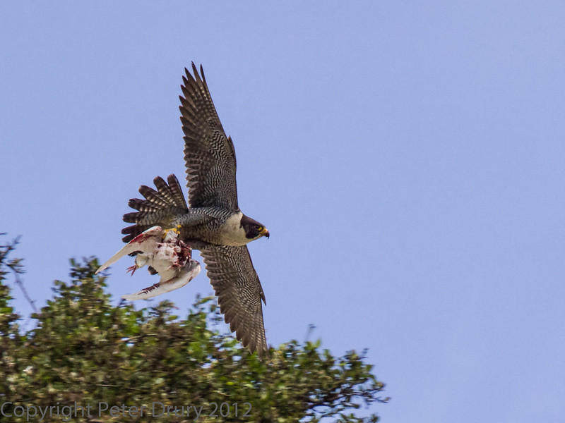 18 June 2013 Female Peregrine, with prey, arriving in the quarry.