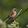 25 May 2011. Female Linnet at Milton Common, Langstone Harbour shoreline. Copyright Peter Drury 2011