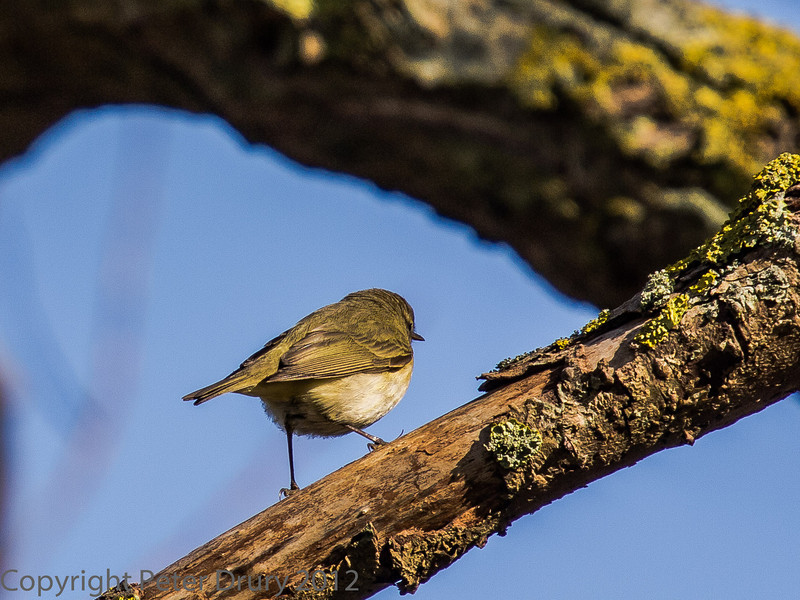 Chiffchaff at Milton Common