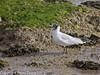 11 March 2011. Black-headed Gull in the old oysterbeds. Copyright Peter Drury 2011