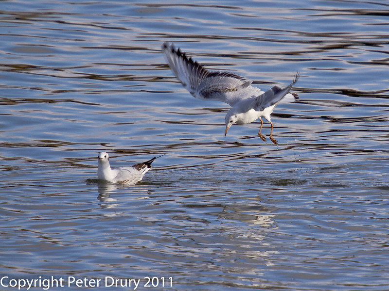 16 February 2011. Black headed Gull at Langstone Harbour. Copyright Peter Drury 2011