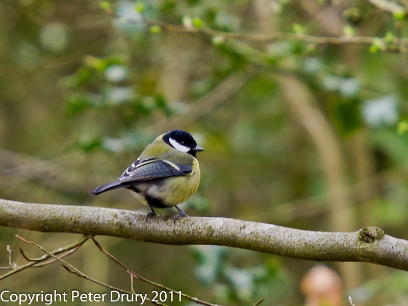 16 March 2011. Great Tit in the Queens Inclosure.  Copyright Peter Drury 2011