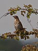 Song Thrush (Turdus philomelos). Copyright Peter Drury 2010