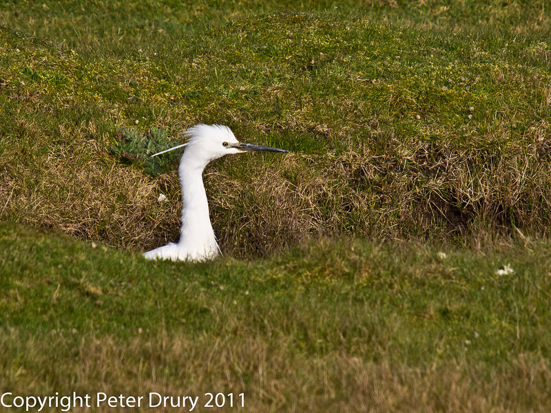 21 March 2011. Little Egret in the marsh alongside the Hayling Billy Trail.  Copyright Peter Drury 2011