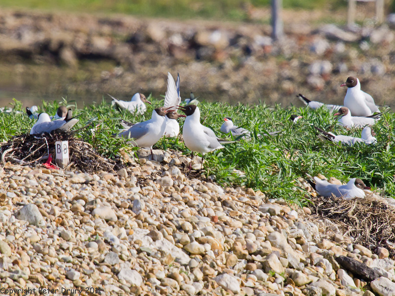 19 May 2011. Black-headed Gulls and Common Tern at the oysterbeds. Copyright Peter Drury 2011
