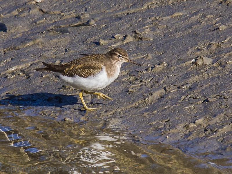 15 Feb 2012 Common Sandpiper at Broadmarsh