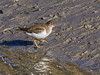 15 Feb 2012 Common Sandpiper at Broadmarsh