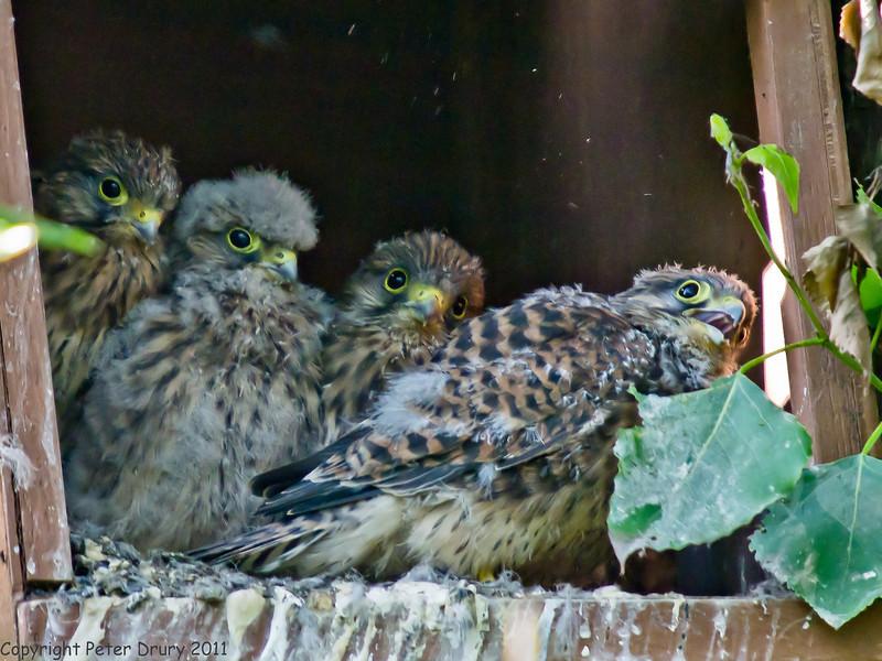 02 Jun 2011. Kestrel chicks. Copyright Peter Drury 2011