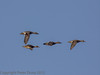 01 February 2012 Two pairs of Gadwall flyng in from Langstone Harbour.