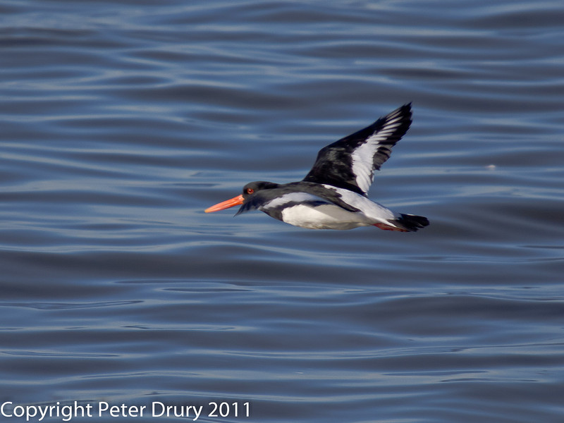 12 February 2011. Oystercatcher at Southmoor. Copyright Peter Drury 2011