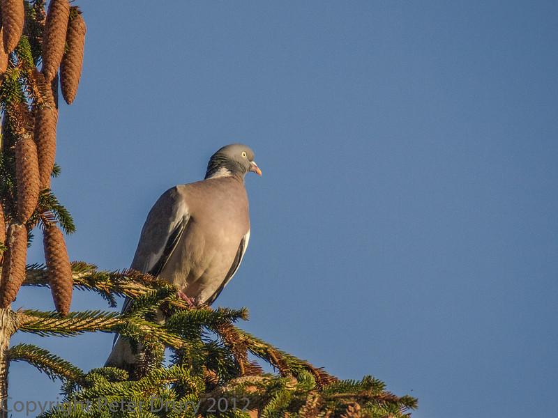 11 January 2012 Wood Pigeon on conifer.