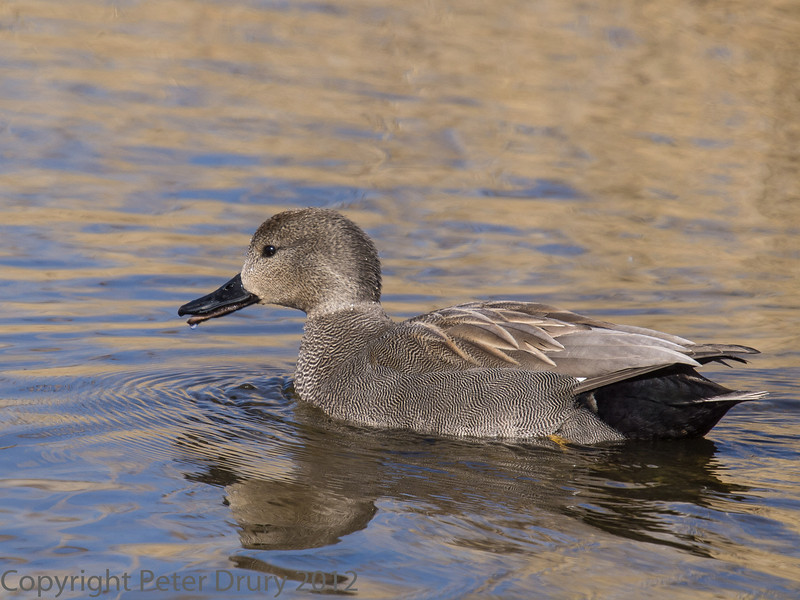 22 March 2012 Male Gadwall at Milton Common