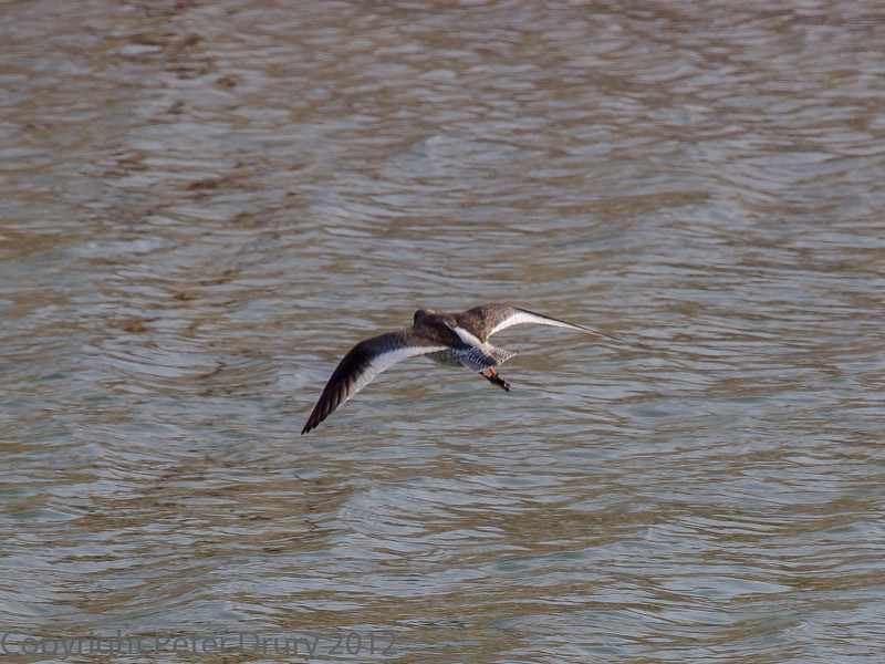 01 February 2012 Redshank flying across the Hermitage stream estuary.