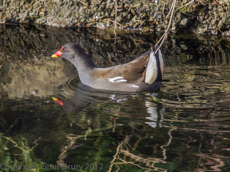22 January 2012 Moorhen at the Hermitage stream.
