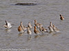 17 March 2011. Black-tailed Godwit in the bay between the Hayling Island bridges.  Copyright Peter Drury 2011