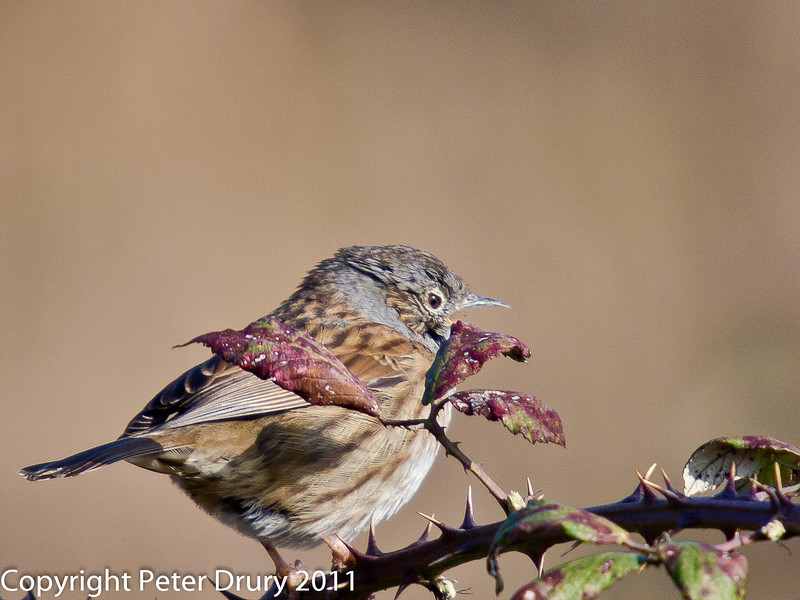 17 February 2011. Dunnock near the Hayling Billy Trail. Singing its heart out - until I came along! Copyright Peter Drury 2011
