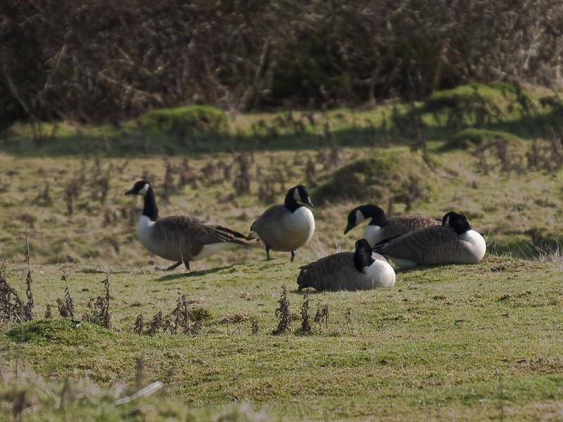 Canada Goose (Branta canadensis). Copyright Peter Drury 2010<br /> Roosting at Farlington Marshes at high tide.