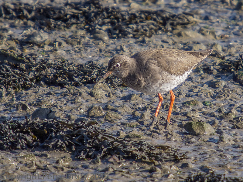 02 Feb 2012. Redshank on the shoreline.