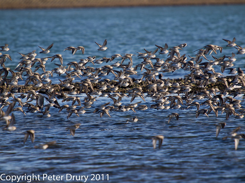 08 February 2011. Dunlin.Grey Plover and an Oystercatcher in flight. Copyright Peter Drury 2011