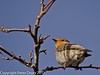 11 March 2011. Robin on the Hayling Billy Trail. Copyright Peter Drury 2011