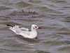12 Sep 2011 The few Black-headed gulls about, were located on the Oysterbed shoreline. None were noted in flight.