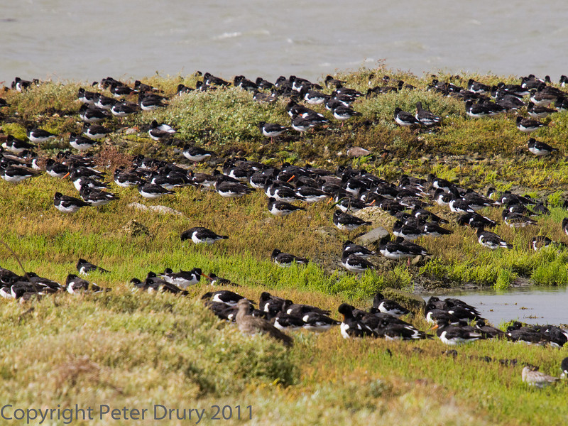 12 Sep 2011 Large flock of roosting Oystercatcher.