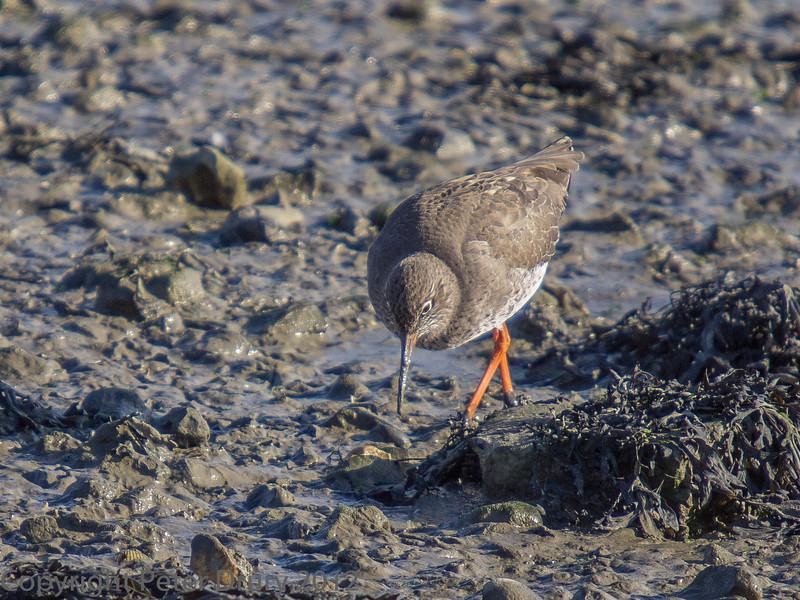 02 Feb 2012. Redshank on the shoreline.