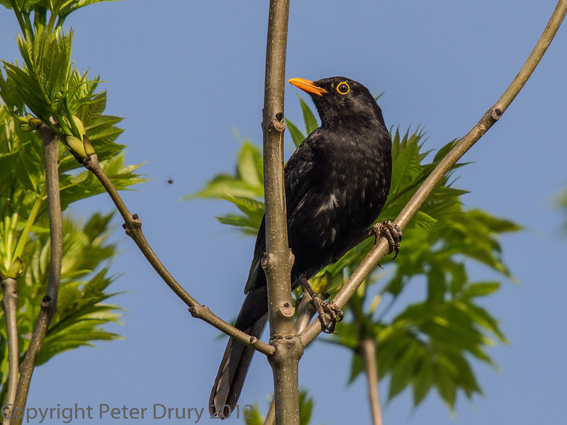 23 May 2012 Blackbird on the Hayling Billy Trail