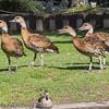 Black -billed Whistling Duck at Birdworld, Farnham