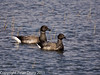 17 February 2011. Brent Geese at the Oysterbeds. Copyright Peter Drury 2011