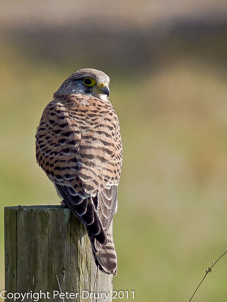 28 March 2011. Kestrel, reprocessed on suggestion of JeanLou Olympus, France Forum.  Copyright Peter Drury 2011