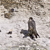 11 March 2011. Peregrine Falcon back at the chalk quarry nest site. Copyright Peter Drury 2011