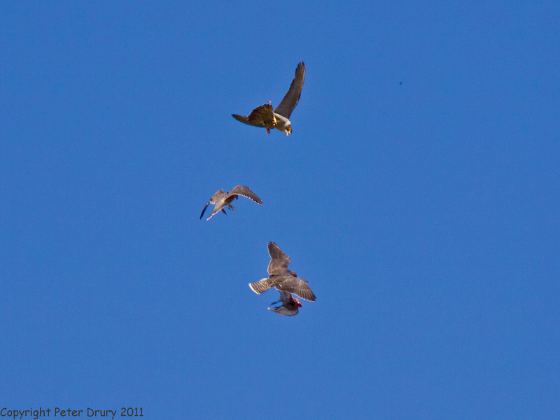 30 June 2011. Peregrine Falcons at the Chalk Quarry. Practising catching a bird in flight. The adult bird (top) has dropped the pigeon and one of the fledglings has caught it. Note, the adult is in INVERTED flight! Copyright Peter Drury 2011