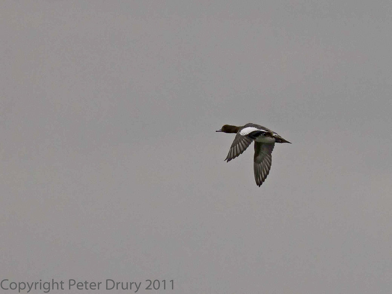 11 Oct 2011 Widgeon at the Oysterbeds. The day was very dull with low cloud - a real challenge to take wildlife images with a long lens.