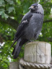 03 July 2011. Jackdaw at Marwell. Copyright Peter Drury 2011