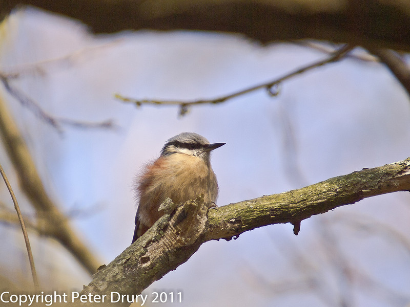 08 March 2011. Nuthatch. Copyright Peter Drury 2011