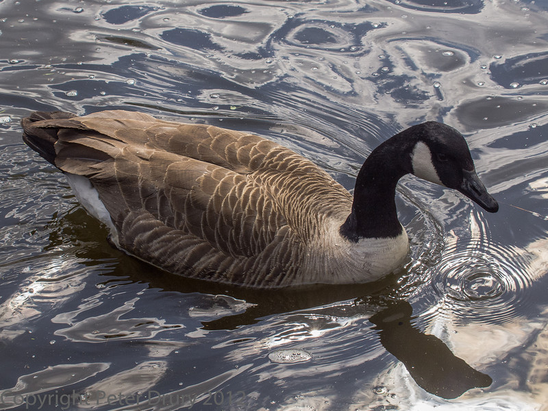 Canada Goose on the Thames at Staines