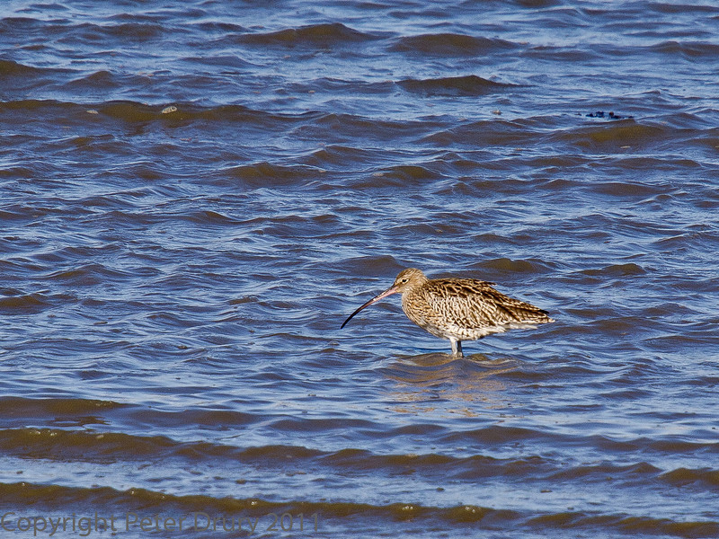 18 Oct 2011 Curlew at West Hayling LNR.